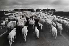 A-30-Orgosolo-gregge-di-pecore-sulla-strada-1976